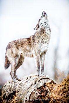 The howling by Jason McGee**