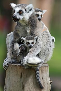 Mother and two young ring-tailed lemurs at Yorkshire Wildlife Park, Doncaster