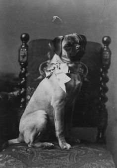 It's fun to be a Victorian pug.