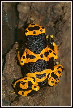 Yellow-banded poison dart frog (Dendrobates leucomelas) ~ By Henk Wallays