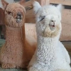 Alpacas chew like Carlton dances - All about the Animals and pets is here Funny Animal Videos, Funny Animal Pictures, Animal Memes, Baby Animals Pictures, Baby Animal Videos, Corgi Pictures, Funny Videos, Cute Pictures, Cute Little Animals