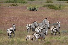 Zebras Zebras, Travel, Animals, Animales, Viajes, Animaux, Destinations, Traveling, Animais