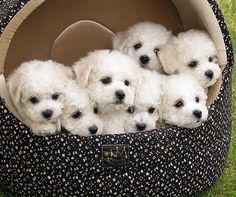 Brown Brown Milam winston x 7 = crazy! Bichon Dog, Maltese Dogs, Cute Puppies, Cute Dogs, Dogs And Puppies, Doggies, Cute Baby Animals, Animals And Pets, Dog Pictures