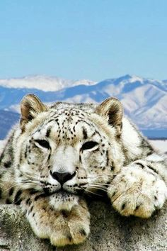 Snow Leopard via Big Cats
