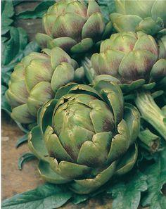 CYNARA scolymus - Green Globe - Anghinare