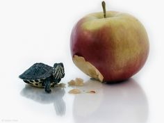 There's no way this tiny turtle ate that much apple! Funny Animal Photos, Funny Animals, Cute Animals, Animal Pics, Baby Animals, Tiny Turtle, Turtle Love, Pet Turtle, Cute Turtles