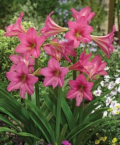 Brent and Becky's Bulb Hippeastrum sonatini Sweet Sixteen Amaryllis Plant, Spring Plants, Planting Bulbs, Bulb Flowers, Beautiful Flowers, Love Flowers, Trees To Plant, Flowers, Day Lilies