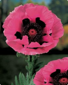 Oriental Poppy Raspberry Queen via Melinda Minshall