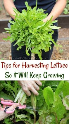 Garden Design Architecture Tips for Harvesting Lettuce So it Will Keep Growing - One Hundred Dollars a Month.Garden Design Architecture Tips for Harvesting Lettuce So it Will Keep Growing - One Hundred Dollars a Month Hydroponic Farming, Hydroponic Growing, Hydroponics, Hydroponic Lettuce, Aquaponics Greenhouse, Aquaponics Diy, Permaculture, Veg Garden, Edible Garden
