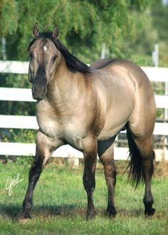 A black dun (grullo) Quarter Horse stallion.