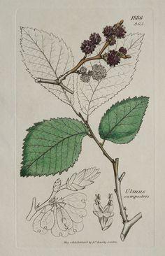1808 stampa antica di un olmo di campo, fiori e frutti. Alberi. Piante medicinali. Ulmus minor. 206 anni botaniche Incisione su rame.