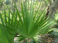 Saw Palmetto Frond leaves