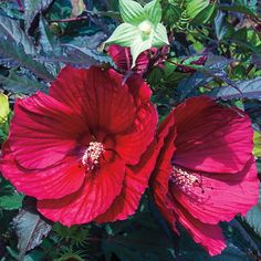 Hibiscus Midnight Marvel - Shrub | Spring Hill Nurseries Hibiscus Bush, Growing Hibiscus, Hibiscus Garden, Hummingbird Garden, Hibiscus Flowers, Red Flowers, Tropical Garden, Starting Plants From Seeds, Perennial Bulbs