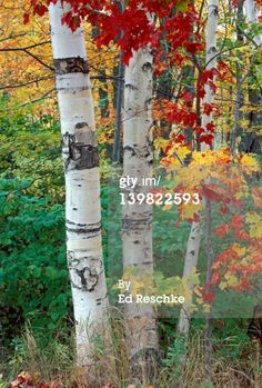 Stock Photo : PAPER BIRCH AND RED MAPLE, AUTUMN IN NEW HAMPSHIRE, BETULA PAPYRIFA AND ACER RUBRUM,