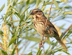 Song Sparrow, one of the most abundant, variable, & adaptable species, by djsime