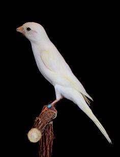El delicado canario blanco
