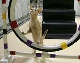 Cat Agility Competition: Train Your Athletic Cat #cats #cat agility