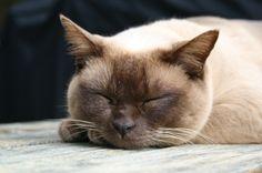 Burmese Cat Appearance - #catbreeds - More Burmese Cats Breeds at Catsincare.com!