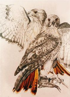 Red-tailed Hawk (Print) by Barbara Keith