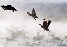 All animals have a part of their brain that feels some degree of what can be described as emotion, the difference is in the complexity of that feeling. I think birds experience some feeling of joy as they soar above the us in the sky.    Ducks take off from a pond on a cold winter's day in Minsk, Belarus.    Sergei Grits/AP
