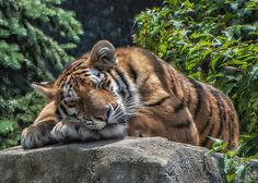 nap time,Columbus Zoo and Aquarium,photo by Thomas Alexander