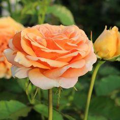 Beautiful Moment #holland #flowers #tullips #roses #garden #landscape#kids#spring#Beautiful#