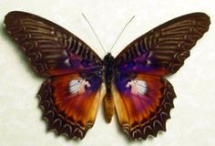 Rare Butterfly Species | ... about REAL RARE CETHOSIA BOLD PURPLE FUSCHIA FRAMED BUTTERFLY 134