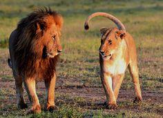 Il leone e la leonessa