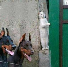 BE THE WALL - LOLcats is the best place to find and submit funny cat memes and other silly cat materials to share with the world. We find the funny cats that make you LOL so that you don't have to. Animal Jokes, Funny Animal Memes, Cute Funny Animals, Cute Baby Animals, Cat Memes, Cute Cats, Funny Cats, Memes Humor, Funny Humor