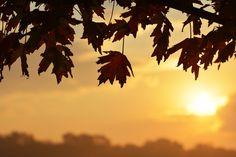 Sunrise through the #dftrees Maples