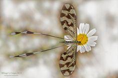 Nemoptera bipennis