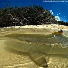 Lemon shark..In the top 10 most dangerous shark. Look how shallow.