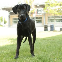 Look at that face! Shadow is an adoptable Great Dane (mix?) at Toronto Animal Services.