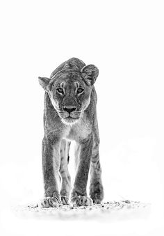 Dave Hamman Photography African wildlife images as fine art prints on a fine art canvas or a fine art paper. wildlife photos Chitabe camp in Botswana