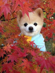 Shunsuke.... The Japanese equal to Boo the cutest dog in the world!!!