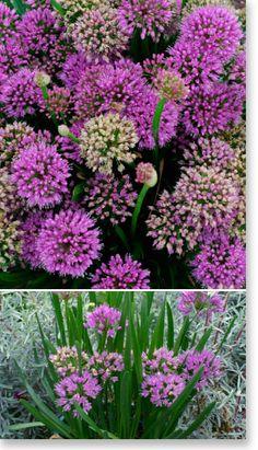 "Plants Management Australia Pty Ltd.Allium ""Millenium"" producing pink mauve flowers, great attractor to butterflies. Flowers That Attract Butterflies, Butterfly Plants, Orchid Plants, Orchids, Wild Orchid, Allium, Container Plants, Beautiful Gardens, Gardening Tips"