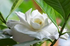 Homemade Fertilizer for Gardenia Plants. I LOVE gardenia.