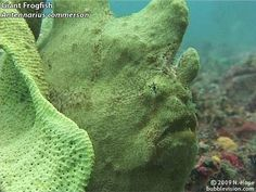 This long video features the best footage from my 2006 trip to the Lembeh Strait with Two Fish Divers. Weird and wonderful critters from muck diving sites including Hairball, Aer Perang, TK (Teluk Kembahu), Aw Shucks, Police Pier, Angels' Window, Nudi Falls, Nudi Retreat and Jahir.