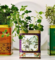 tea tin plants. This would be great for a kitchen-window herb garden!