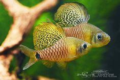 Related image #tropicalfishaquarium #TropicalFishFreshwater
