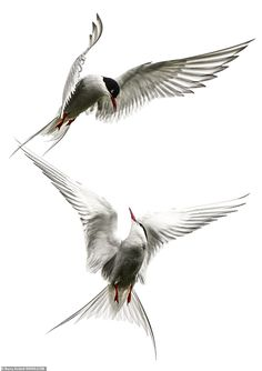 Barry Kettell, retired and from Norfolk, managed to capture a pair of Arctic terns interac. Farne Islands, Arctic Tern, Small Lizards, Bird People, Emperor Penguin, Photography Competitions, Light Images, Bird Drawings, Bird Pictures