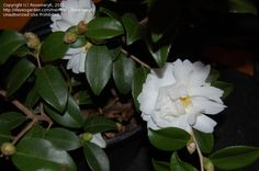 Cold-hardy (?) fall blooming Hybrid camellia 'Winter's Waterlily'  Camellia oleifera X sasanqua. to -15F(?)
