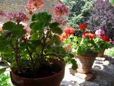 Geraniums on the balcony Geraniums, Balcony, Plants, Terrace, Balconies, Plant, Outdoor Balcony, Planting, Planets