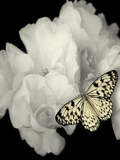 White Roses and pretty white/black Butterfly