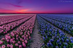 Flowers from Holland by Dennis Polman on 500px