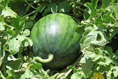 Melonen anbauen – 6 Tipps If you like to eat melons, you don't have to buy th… - Garden Types Growing Melons, Growing Plants, Growing Vegetables, Fruit Tree Garden, Fruit Trees, Garden Plants, Diy Garden, Garden Ideas, Garden Types