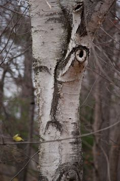 The sleep with 1 👁 open tree! Tree Name-Exhaulted Construct Tree🌲 Weird Trees, Spooky Trees, Enchanted Tree, Tree Faces, Tree People, Unique Trees, Tree Carving, Old Trees, Tree Trunks