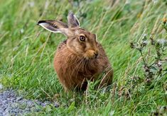 Brown Hare ❀ by Trevor Boosey Dog Pictures, Animal Pictures, Green Politics, Turtle Facts, The Great Comet, Cicely Mary Barker, Baby Bunnies, Small Birds, Nature Animals
