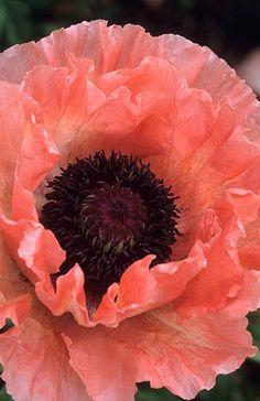 Amapola Papaver orientale 'Princess Victoria Louise' Fotografia de John Glover, uno de los primeros y de los mas importantes fotografos de jardin del Reino Unido
