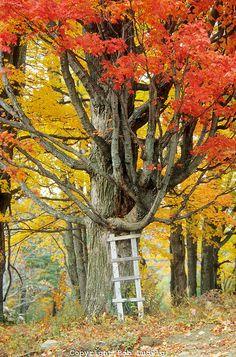 White ladder, red maple tree, autumn. Washington, VT│Bob Ludgwig Photography